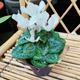 white cyclamen winter blooming flower