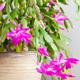 zygocactus christmas cactus winter blooms