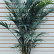 areca palm for privacy
