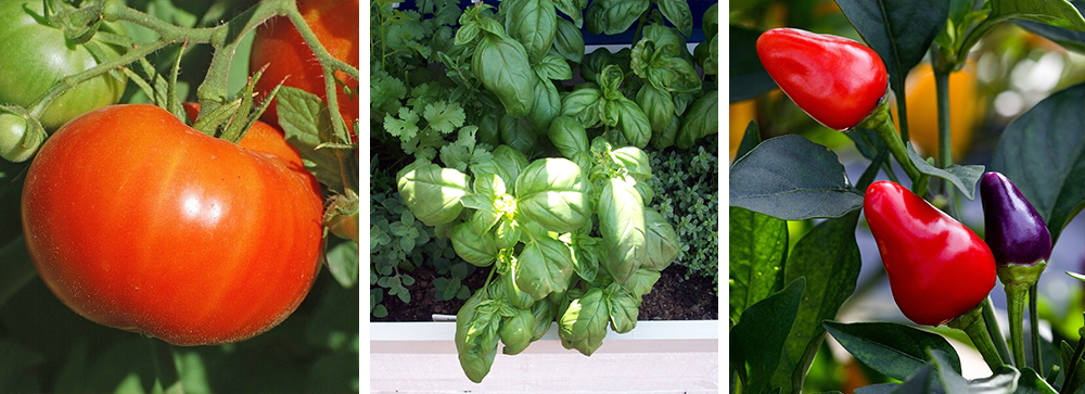 container grown vegetables: tomato, herbs, peppers